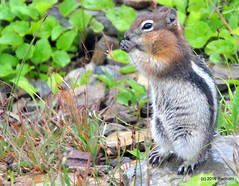 DSC_0668 (rachidH) Tags: squirrel écureuil rodents goldenmantledgroundsquirrel spermophiluslateralis callospermophiluslateralis spermophileàmanteaudoré écureuilterrestreàmanteaudoré spermophileàmanterayée logan pass loganpass westglaciernationalpark montana rockymountains mt rachidh nature