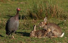 Bunny Love Olympics (Ger Bosma) Tags: 2mg43670 konijn oryctolaguscuniculus bunny rabbit wildrabbit kaninchen lapin conejo coniglio coelho kanin królik кролик helmparelhoen parelhoen hoender numidameleagris helmetedguineafowl guineafowl helmperlhuhn pintadedenumidie pintadacomún faraonadinumidia