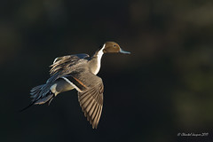Coming out of the shadow (Chantal Jacques Photography) Tags: pintail bokeh comingout wildandfree shadow victoriabc comingoutoftheshawdow