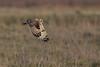 R17_7857 (ronald groenendijk) Tags: cronaldgroenendijk 2017 asioflammeus rgflickrrg animal bird birds birdsofprey groenendijk nature natuur natuurfotografie outdoor owl owls ronaldgroenendijk roofvogels shortearedowl velduil vogel wildlife