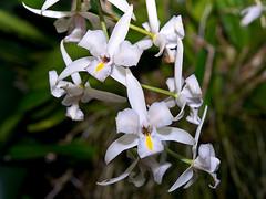 Laelia albida (Eerika Schulz) Tags: herrenhausen berggarten orchideenhaus orchidee hannover laelia albida eerika schulz