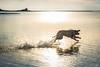 lab5 (Jen MacNeill) Tags: assateague dog lab labrador retriever water fetch bay