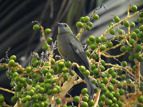 Sanhaçu do coqueiro