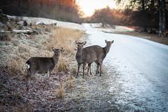 Sika Deer (yannha) Tags: canon100mm28macro nature denmark forest road animal wildlife sika deer morning season winter outdoor