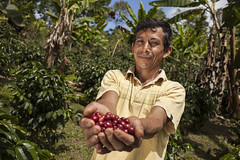 Hand-picked coffee cherries harvesting (Green Commodities Programme) Tags: peru coffee undp unitednationsprogramme greencommoditiesprogramme gcp coffeecherry handpicking smallholders smallproducers