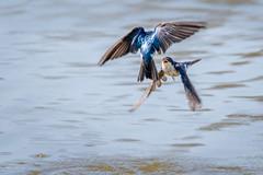 Tree Swallows in flight (jeffloomis1) Tags: treeswallow birdinflight