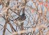 Junco (EHPett) Tags: songbird bird wildlife bush perch animal outdoor connecticut connecticutriver