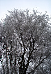 Ice tree (René Maly) Tags: renémaly minolta rd3000 vectis vline 17mmf35 3517 ice tree frozen winter cold