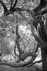 dancing beech 1 (Jos van Wunnik) Tags: kent tree beech