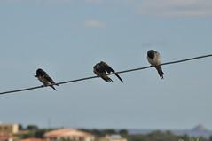 lavaggio rondini (elias.seddone) Tags: sardegna birds sardinia ali uccelli swallow golondrinas rondine gallura volatili budoni sardinianbirds limpiddu sardiniananimal