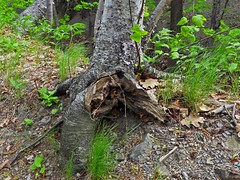 Arbres et souches - Trees and stumps (Jacques Trempe 2,490K hits - Merci-Thanks) Tags: tree forest quebec stump arbre souche caprouge