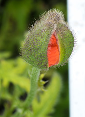 Peek-A-Boo Poppy (Light Collector) Tags: red hairy green nature garden outdoors peekaboo explore poppy bud blooming odc