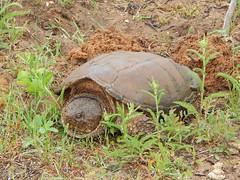 Snapping Turtle (U.S. Fish and Wildlife Service - Midwest Region) Tags: turtle turtles snappingturtle female mother eggs seney nwr refuge spring mi michigan june nationalwildliferefuge upperpeninsula wildlife
