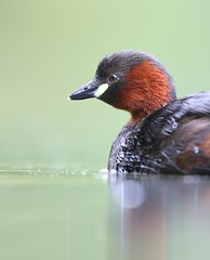 Little grebe (Mike Mckenzie8) Tags: lake reflection bird wildlife british tachybaptus ruficollis