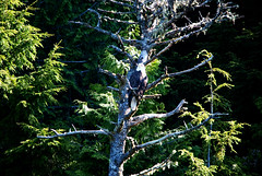 The Eagle has landed (lindakatee) Tags: vancouverisland cruises archipelago brokenislands