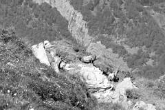 Ruhende Steinböcke (miramann) Tags: dog mountains berg schweiz hunting hunt jagd alpin ibex steinbock graubünden ausbildung jäger münsterländer jagdhund 5655 arbeitshund miramann steinwild schalenwild ruhendesteinböcke