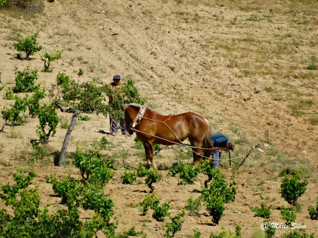 Águas Frias (Chaves) -  ... o cavalo a lavrar o campo ...