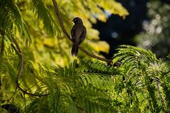 Common Myna (annburlingham) Tags: sunlight tree green bird branches australia brisbane winner backlit universityofqueensland commonmyna tcf unanimous birdonabranch thechallengefactory july2015