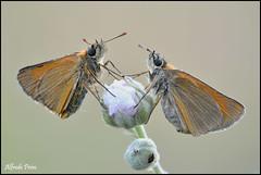 Thymelicus sylvestris (alfvet) Tags: macro nature nikon ngc natura npc insetti farfalle sigma150 parcodelticino veterinarifotografi