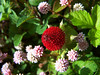 Wild Strawberries (J Swanstrom (Never enough time...)) Tags: red wild fruit photography j strawberry kodak seed dx7590 swanstrom