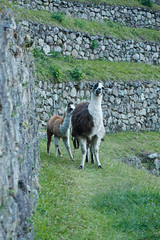 Peru-0726.jpg (Matt and Debbie) Tags: peru llama 2015 wayna winaywayna wiay