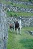 Peru-0726.jpg (Matt and Debbie) Tags: peru llama 2015 wayna winaywayna wiñay