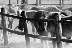 cavalli a riposo - horses at rest (immaginaitalia) Tags: park horses bw italy parco white black torino mono la italia natural bn piemonte turin cavalli bianco piedmont nero reale venaria mandria