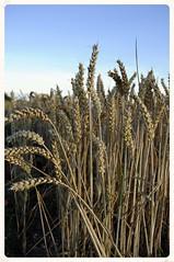 Dorset (dawn.v) Tags: uk summer england evening countryside nikon wheat august dorset crops 2015 edgeoffield