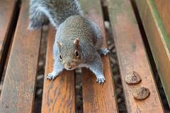 Those Aren't Nuts! (fotojak1) Tags: squirrel rodent animal wildlife edinburghsquirrels outdoor outside scotland autumn cute bushytail easterngray edinburgh botanicgraden handheld nikkor50mmf18 nikond7100 johnritchie