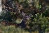 Biche. (Patrice Baud) Tags: cerdagne pyrénées montagne sauvage wildlife wild cerf biche cervus élaphe reddeer deer nikon d7100 nikkor300f4 hirsch ciervo