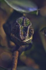 ooohhh! (Bernardvinc) Tags: lézard green eyes nikon nikkor macro depthoffield
