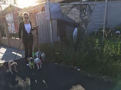 Walkies (phillipdumoulin) Tags: nsw sydney australia city builtenvironment suburbs street victoriaroad parramatta dogs exercise lapdogs footpath fences roads