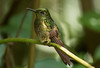 IMG_1345 Buff-tailed Coronet (suebmtl) Tags: hummingbird bird ecuador napoprovince bufftailedcoronet boissonneauaflavescens