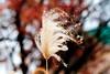 Japanese Silver Grass : ススキ (Dakiny) Tags: 2016 winter december japan kanagawa aoba fujigaoka moegino outdoor nature city street park moeginopark plant grass maple japanesesilvergrass macro bokeh silver nikon d7000 sigma apo 70200mm f28 ex hsm apo70200mmf28dexhsm sigmaapo70200mmf28dexhsm nikonclubit