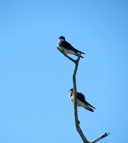 Chilean swallow  - Tachycineta meyeni