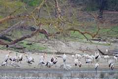 Yellow-billed Storks, Pink-backed Pelicans and African Spoonbills (cirdantravels (Fons Buts)) Tags: spoonbill lepelaar löffler spatule platalea pelican pelecanus pélican pelikan pelikaan stork ooievaar nimmerzat tantale mycteria ndumo
