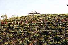 C1_2016-161505 (HamimCHOWDHURY  [Active 01 Feb 2016 ]) Tags: teagardenportrait girlnature tealeaf workingwomen pluckingleafs