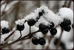 Verzauberte Eisbeeren - Enchanted ice berries (Karabelso) Tags: berries snow winter eis kristalle weis schwarz makro panasonic lumix gx7