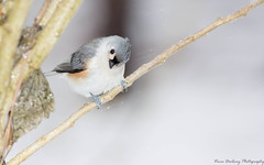 Titmouse-5397-3 (vdrobphoto) Tags: titmouse bird canon5d3 canon400mm56 ngc coth5