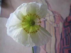Icelandic Poppy (emilyborhi) Tags: flower plant green bouquet iceland icelandic poppy bedroom petals irene klar friend