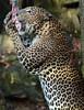 shrilankan panther Burgerszoo JN6A0098 (j.a.kok) Tags: burgerszoo panter luipaard panther leopard shrilankanpanther shrilankanleopard shrilankapanter pantheraparduskotya cat kat mammal predator shrilanka azie asia
