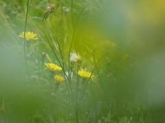dreaming the spring (fotomie2009) Tags: prato meadow wild wildflower flora spontaneo spontaneous nature yellow flowers fiori winter