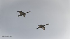 Swans in fly (malioli) Tags: bird animal swan swans fly air sky pics picture photo photography canon croatia hrvatska europe