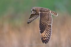 Shortie (ThruKurtsLens.com (Kurt Wecker)) Tags: 2016 flying kurtwecker nature naturephotographer nikon thrukurtslenscom wildlife wildlifephotographer winter