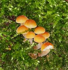 2016_01_0134 (petermit2) Tags: mushroom fungus fungi toadstool puffball pottericcarr potteric doncaster southyorkshire yorkshirewildlifetrust wildlifetrust ywt autumn
