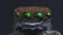 Green eyed (GTV6FLETCH) Tags: spider macro macrophotography focusstack canon canoneos5dmark2 clouds manualfocus maratus macrotubes canonef135mmf28sf reversed maratuspavonis peacockjumpingspider peacockspider