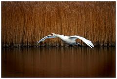 Take Off. (vegetus aer) Tags: ramseyheights greatfen greatfenproject wildlifetrust bcnwildlifetrust nnr cambridgeshire wildlife sony rx10m3 swan