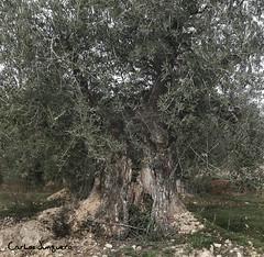 la sombra de una olivera centenaria II (carlosjunquero) Tags: olivera olivar olivo