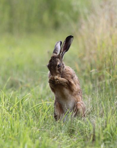 {Praying Hare}FCC137