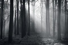 *** (pszcz9) Tags: polska poland przyroda nature natura las forest forestimages światło light cień shadow drzewo tree poranek morning mgła fog mist grudzień december beautifulearth sony a77 pejzaż landscape bw blackandwhite monochrome czarnobiałe